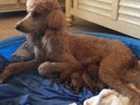 We have 6 beautiful Red standard poodles that were born