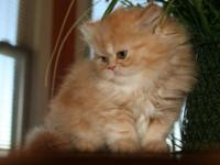 >^..^ ^..^< 2 RED TABBY KITTENS Kittens will be ready