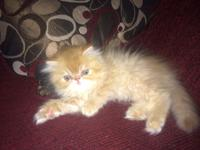 Meet 'Roy' Male Persian Kitten. Born June 4th. (Other