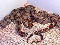 I have a red tail boa I need to rehome it will come w