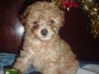 Gorgeous female red toy poodle. Is 9 weeks old, is of