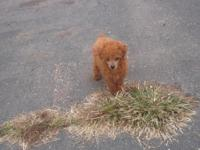 CKC reg. red female toy poodle ready for her new home.