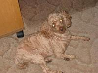 My name is Junior. I am a red AKC toy poodle. I am 12