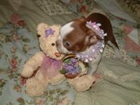 I have a red & & white Boston Terrier female pup ACA