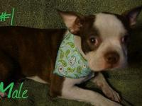 These are super cute and rare red&white boston terrier