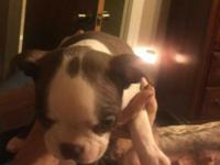 Red white boston 1st shots and wormings extra sweet and