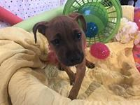 Red2 F's story Sapphires pup, red pit mix,