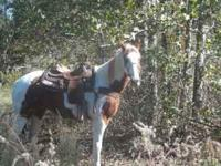 Jack is a 15.2 hand paint gelding that has been used as