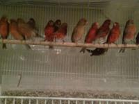 Lots of red and bronze canaries for sale. Have Beaphar