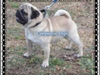 Red Collar is an AKC Champion Line Pug Puppy! His
