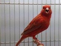 Young beautiful canaries closed band for sale: Red