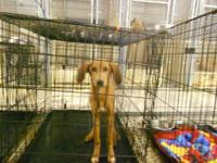 Redbone Coonhound - 263-12 264-12 - Large - Young -