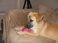 Redbone Coonhound - Annabelle - Medium - Young - Female