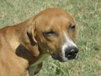 Redbone Coonhound - Annie - Medium - Young - Female -