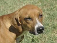 Redbone Coonhound - Su...