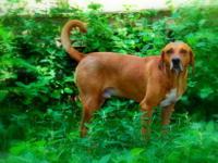 Redbone Coonhound - Brad Pitt - Large - Adult - Male -