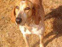 Redbone Coonhound - Clyde - Large - Adult - Male - Dog