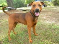 Redbone Coonhound - Denver - Large - Adult - Male -