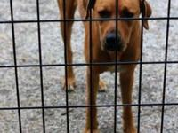Redbone Coonhound - Gilligan - Large - Young - Male -