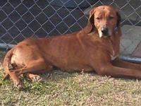 Redbone Coonhound - Glopsy - Large - Adult - Male -