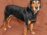 Redbone Coonhound - Hercules - Large - Adult - Male -