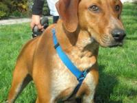 Redbone Coonhound - Howard - Medium - Adult - Male -