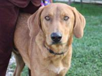 Redbone Coonhound - Ian - Adoption Pending - Large -