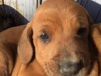 Ready 5/12/15, 1st shots and wormed, mother is purebred