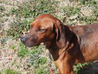 Redbone Coonhound - Moses - Medium - Adult - Male -