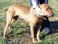 Redbone Coonhound - Nova - Medium - Young - Female -