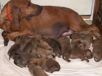 REDBONE COONHOUND Pups, AKC & UKC Reg. Pedigrees full
