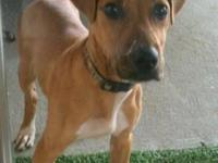 Redbone Coonhound - Rosie - Large - Adult - Female -