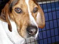 Redbone Coonhound - Rudy $130 - Large - Young - Male -