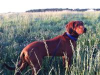 Redbone Coonhound - Rudy - Large - Young - Male - Dog
