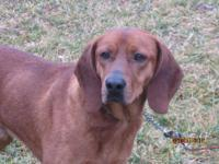 Redbone Coonhound - Rudy - Medium - Adult - Male - Dog