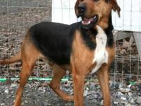 Redbone Coonhound - Sam - Medium - Adult - Male - Dog