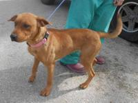 Redbone Coonhound - True - Large - Adult - Female -