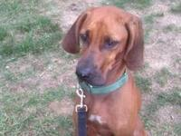 Redbone Coonhound - True - Now In Foster Care! - Large