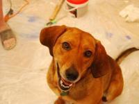 Redbone Coonhound - Wyatt - Northern Ky/cinci Oh Area -