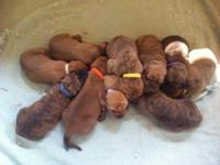 Our litter of beautiful hounds has arrived! Dad is a