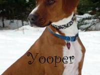 Redbone Coonhound - Yooper - Medium - Adult - Male -