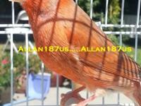Beautiful Red Brown Frosted Male Canaries. (only two