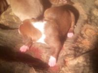 I have 10 Rednose puppies male nd female they were born