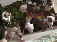 9 pitbull puppies ready for their new loving homes!