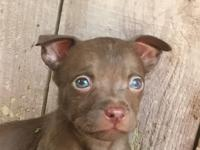 beautiful Rednose pitbull puppies. gorgeous blue eyes!