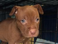 8 weeks old female beautiful rednose pitbull puppy with