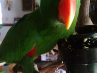 Hand raised Redsided Eclectus male. Weaned onto
