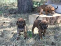 One month old Redtick Hound Pups beginning to develop