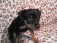 Ready for new homes now!! 21Black/rust female puppiy
