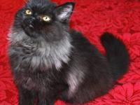 Beautiful persian boy is looking for a new home.He was